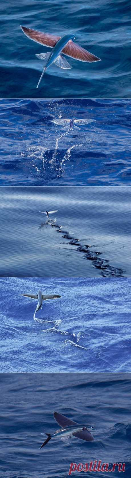 Летучие рыбки Exocoetidae : НОВОСТИ В ФОТОГРАФИЯХ
