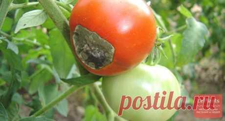 Болезни и вредители томатов | Как бороться и меры профилактики на LePlants.ru