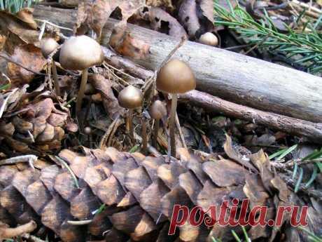 Гриб на шишке - первый дар весны | Это грибы! | Яндекс Дзен