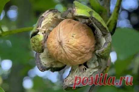 Как произвести обрезку грецкого ореха Обрезка грецкого ореха – это обязательная процедура в садоводстве. Для нее нужна, как минимум, подготовка, поскольку одного владения садовыми инструментами не достаточно.Как начинают работуВсе по поря...