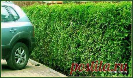 Уход за туями весной | Дачная жизнь - сад, огород, дача