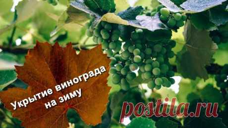 Shelter of grapes for the winter