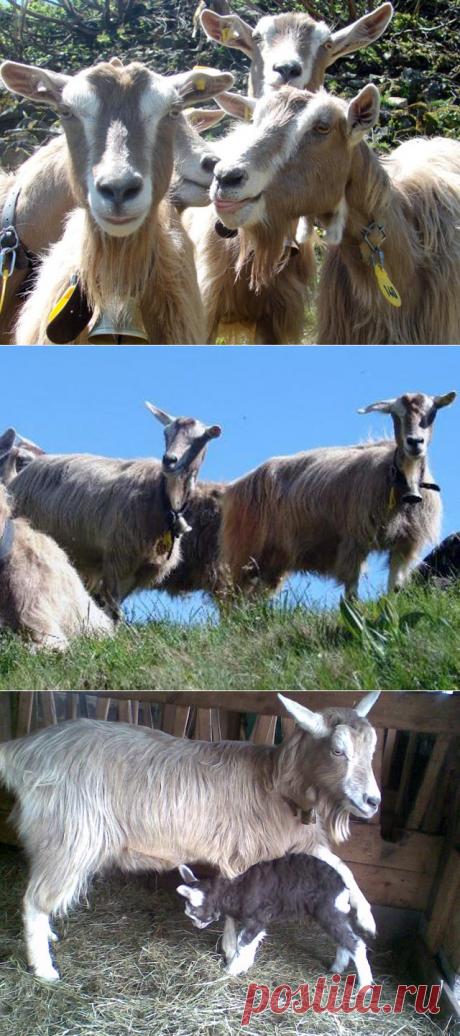 Тоггенбургская коза – фото и описание породы
