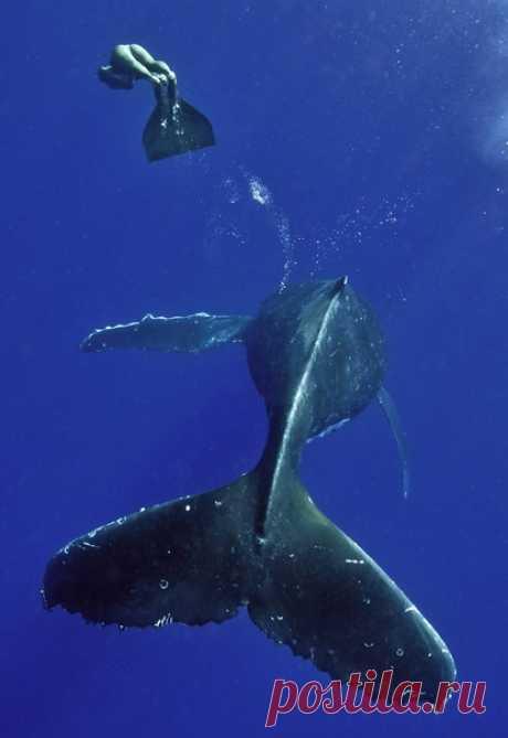 «Братство хвоста» Девушка-фридайвер и горбатый кит (Megaptera novaeangliae) тренируются в погружении на глубину. Королевство Тонга, Тихий океан. Фотограф – Алексей Зозуля: nat-geo.ru/community/user/118501