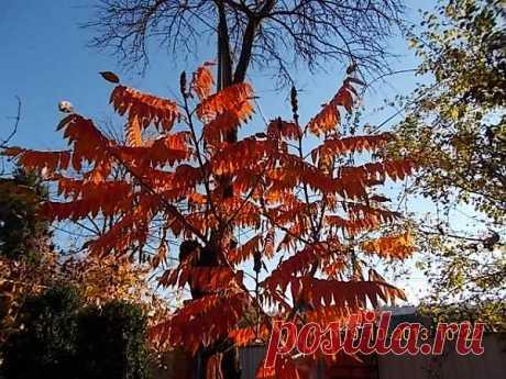 Уксусное дерево на фоне облетевшей алычи