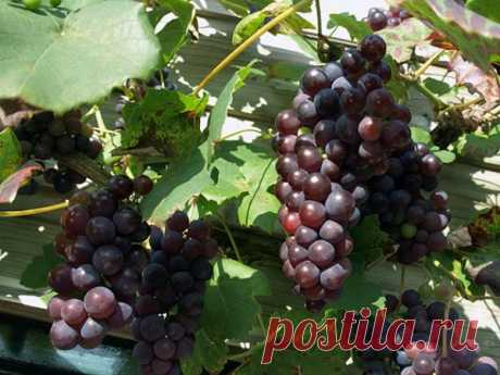 Как вырастить виноград на даче – несколько секретов   6 соток