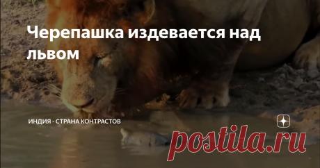 Черепашка издевается над львом