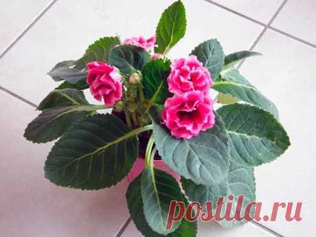 Глоксиния: виды комнатных цветов, их описание и фото