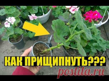 Прищипка, формирование ГЕРАНИ / ПЕЛАРГОНИИ