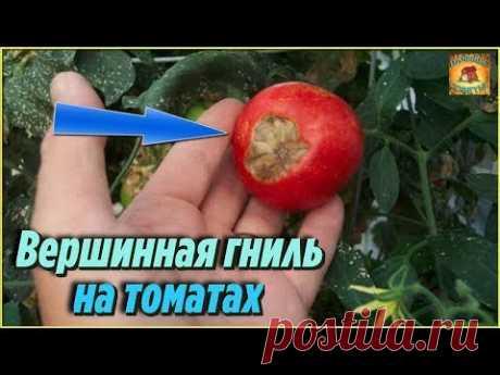 Болезни томатов. Как избавиться от ВЕРШИННОЙ ГНИЛИ народными средствами - YouTube