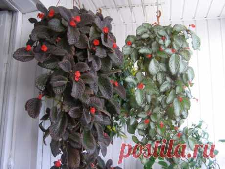 Episcia: leaving and cultivation in house conditions