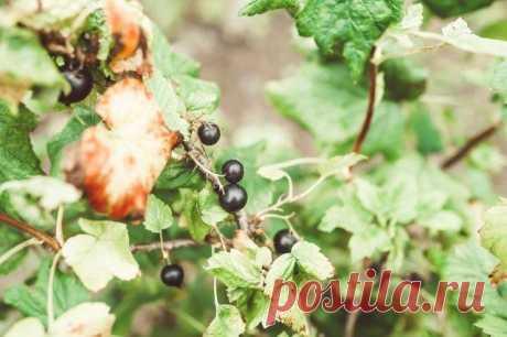Почему мельчают ягоды смородины – 4 главные причины Издалека кажется, что весь куст смородины усыпан ягодами, а при сборе оказывается, что они настолько маленькие, что и обрывать неудобно? Измельчание ягод – распространенная проблема смородиновых кусто...
