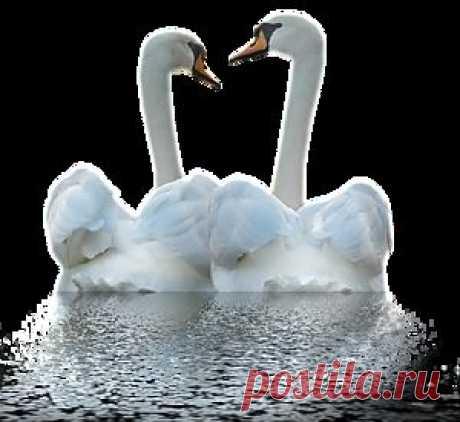 Плейкаст «Любовь моя,как лебедь белая...»