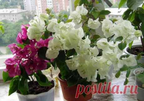 Бугенвиллия - лиана в домашних условиях Бугенвиллия — вечнозеленый кустарник с изящными, вьющимися стеблями, похожими на лианы, и яркими, необычной формы цветками. Чаще всего растения используется для украшения оранжерей, садов и открытых в...