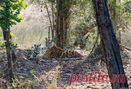 В Таиланде фотоловушка засекла группу индокитайских тигров, о существовании которой никто не знал. Учитывая, что весь вид находится на грани полного исчезновения, это настоящее чудо.