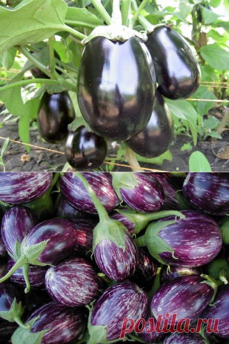 La cultivación de las berenjenas (poshagovaya del técnico agrícola)