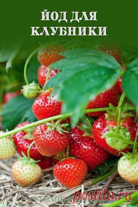 Обработка клубники йодом проводится с целью повышения урожая и улучшения вкуса ягод.