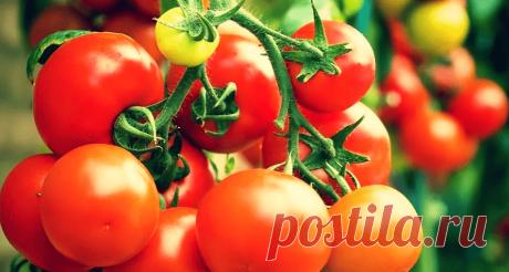 Как правильно поливать помидоры: 6 важных правил, чтобы томаты были «мясистые» и вкусные | Твоя Дача | Яндекс Дзен