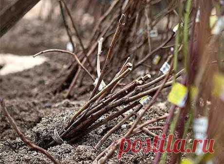 Как сохранить саженцы зимой, если сажать уже поздно!   Самые выгодные покупки лучше всего делать в межсезонье.  Вам попал в руки долгожданный, посадочный материал, а время для его посадки уже прошло, или посылка просто задержалась в пути. Что делать? Как сохранить приобретенный товар до посадки его в грунт? Не отчаивайтесь – есть проверенный способ, который поможет Вашим растениям комфортно пережить зиму.   Может быть посадить еще не поздно?  Иногда опасения садоводов быва...