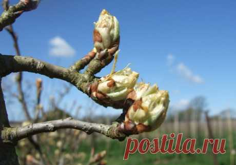 Top dressing of a pear: spring, autumn, than to feed up a pear, organic and chemical fertilizers, a dosage and terms of introduction, a photo, video