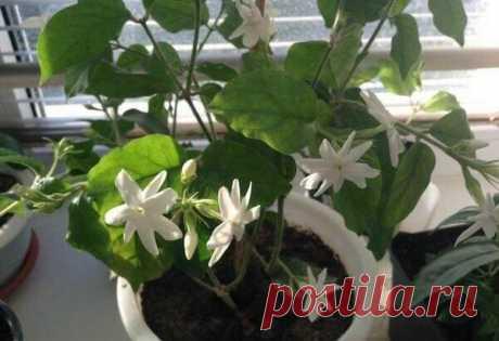 Самые ароматные комнатные растения: что посадить, чтобы квартира благоухала? Какие цветы интенсивнее других источают приятный аромат, наполняя им всю комнату?