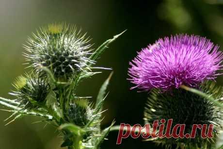 Какие травы применяют для печени: названия и их особенности
