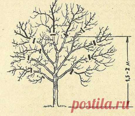 Как омолодить яблоню осенью: способы, сроки, правила, схема обрезок старого дерева, фото, видео