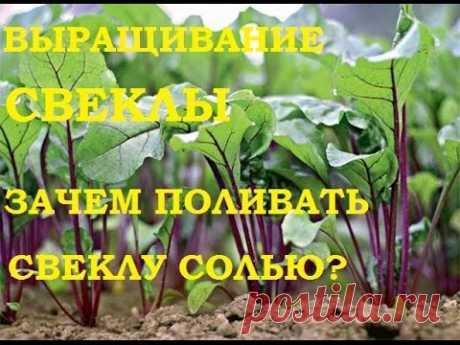 Выращивание свеклы. Зачем поливать свеклу солью? И немного о чесноке! — Делаем руками