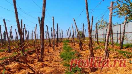 Ремонт виноградников: усталость почвы - Огород, сад, балкон - медиаплатформа МирТесен Почему устала почва? Усталостью почвы называют одностороннее истощение почвы при многолетнем возделывании на участке одной и той же культуры. Такое бывает с помидорами, которые год за годом высаживают на одной грядке, картофелем, земляникой, малиной… и даже виноградом. Ничего удивительного нет....