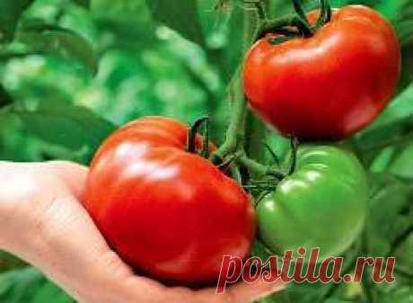 Принципы использования метода И.М. Маслова для повышения урожайности томатов