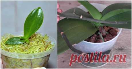 Отличный способ размножения орхидей, не требующий использования цитокининовой пасты ...