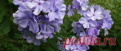 Чем подкормить флоксы весной для пышного цветения в саду Элементы, необходимые флоксам в различные периоды вегетации. Виды удобрений для флоксов: органика, минеральные препараты, народные средства. Особенности проведения корневых и внекорневых подкормок.