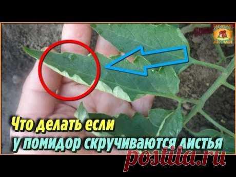 Что делать если скручиваются листья у томатов. Дачные советы и рекомендации при выращивании томатов - YouTube