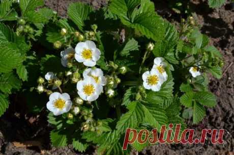 Подкормка клубники во время цветения борной кислотой