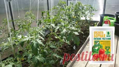 Борная кислота для увеличения урожайности овощей! Почему она так необходима и чем опасна? | Любимая Дача | Яндекс Дзен