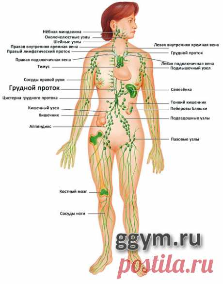 лимфатическая система - Google Search