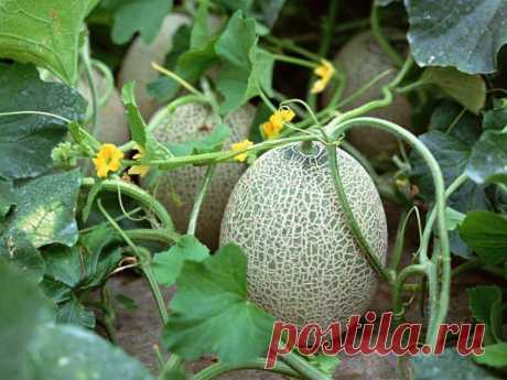 How to water water-melons and melons? Features and rules of watering - Women's magazine LadySpecial.ru: especially for women