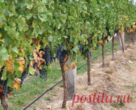 Когда и как мульчировать почву под виноградом?  Мульчирование заключается в покрытии почвы разными материалами. Делается это для улучшения свойств почвы. Преимущества мульчирования:  предотвращается образование земляной корки;  в почве хорошо сохраняется влага;  корни защищены от перегрева и пересыхания;  почва долго остается рыхлой;  при дожде и поливе, на листья не попадают частицы почвы, на которых могут быть возбудители болезней;  нижние грозди остаются чистыми после дождя, меньше покрываю