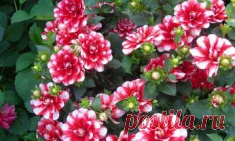 Dahlias: nuances of leaving and choice, merits and demerits