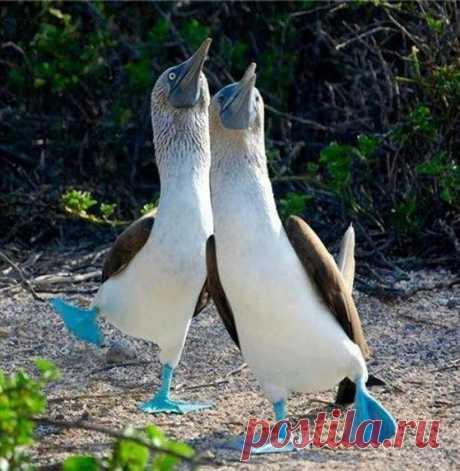 Голубоногие олуши