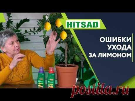 Ошибки При Выращивание Лимона в Домашних Условиях ✔️  Лимон из косточки