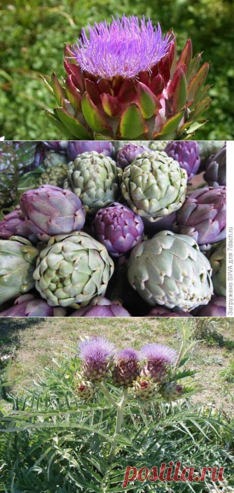 Artichoke: landing, cultivation and leaving. Grades of artichokes