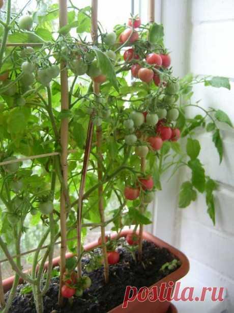 Помидоры на балконе: выращивание балконного чуда - комнатных растений
