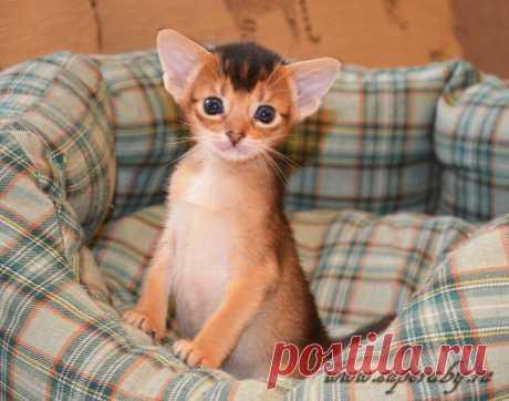 Абиссинские котята , питомник Super-Aby , Москва