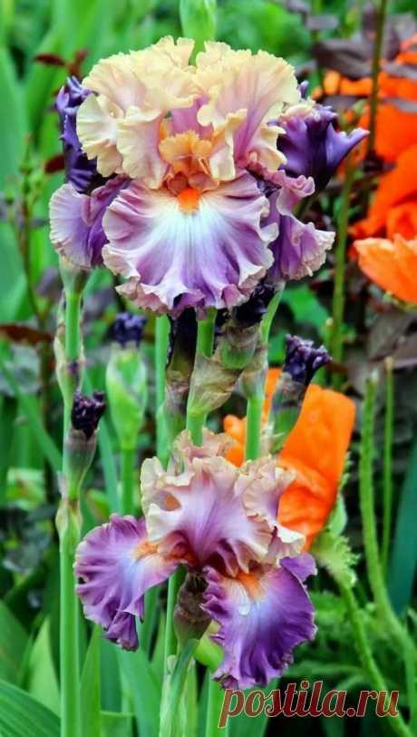 """Цветы ирисы (89 фото): виды и их особенности, посадка и уход - """"Двор и сад"""" """" """"Дизайна интерьера в Яндекс.Коллекциях"""
