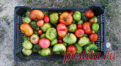 Что можно приготовить сзелеными помидорами? . Милая Я