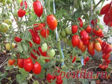 The master - a class on cultivation of tomatoes. I do not apply for a categoriality, simply...
