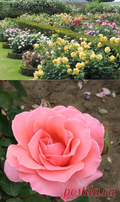 Чайно-гибридные розы: фото, виды, сорта, описание, посадка и уход