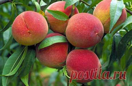 Особенности выращивания персика | Мой садочек