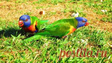 Попугай:Многоцветный или радужный лорикет!